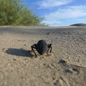 Beetle on the March across Mesquite Flat Sand Dunes