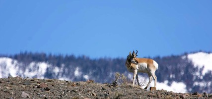 Day 6: Pronghorn, Yellowstone National Park