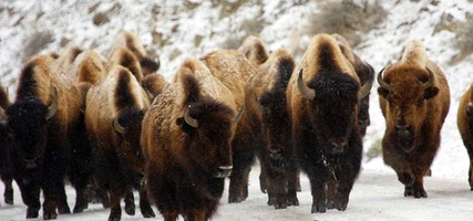 Day 7: Bison Herd, Mammoth to Tower-Roosevelt