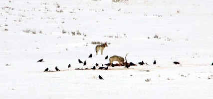 Day 7: Coyotes on Wolf Kill, Lamar Valley