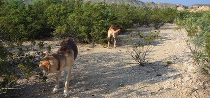 Dogs, Terlingua Ghost Town, TX