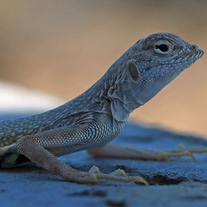 Lizard at Amboy Crater, California